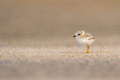 Piping Plover Chick (nikunj.m.patel) Tags: plover pipingplover chick nature wildlife photography beach shore migration summer avian bird outdoor cute birds nikon