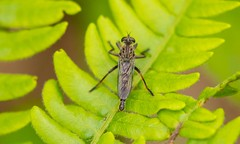 2U7A1667 (rpealit) Tags: scenery wildlife nature sparta mountain management area robber fly