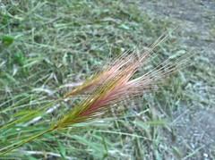 1Shot_20170609_063957 (vale 83) Tags: hordeum murinum false barley microsoft lumia 550 macrodreams friends wpphoto wearejuxt autofocus coloursplosion beautifulexpression