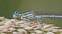 White-legged Damselfly (Male)- Platycnemis pennipes (jaytee27) Tags: whiteleggeddamselflymale platycnemispennipes naturethroughthelens