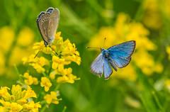 Silvery Blue Butterfly Photobomber (fotofrysk) Tags: silverybluebutterfly claucopsychelygdamus butterfly blue flowers yellow park trails woodland germanmillssettlersparkandmeadows canada ontario thornhill cityofmarkham afsnikkor200500mm56eed nikond7100 201706042773