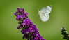 If nothing ever changed... (knoxnc) Tags: butterflybush bokeh wings nikon purple flower beauty inflight blooms purpleflower d5100 sunshine sunny sunnyday outdoorgarden flowerbed closeup outdoor moth