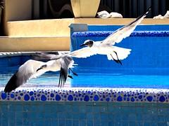 Gulls taking off (thomasgorman1) Tags: gulls seagulls beach caribbean sea seabirds pool isla island mujeres mexico flying
