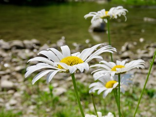 Oxeyed Daisies on Fish Creek