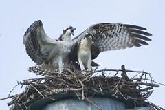139 (GJSmith Photography) Tags: osprey gjsmith birds nikon d750 200m 500m clutch nest birding 500mm uper telephoto