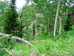 1 with Horizontal Trees (Robert Cowlishaw (Mertonian)) Tags: horizontal trees deepseeksdeep powershot green beautiful wilderness nature canonpowershotg7xmarkii markii g7x canon robertcowlishaw leaves aspens mertonian grove hiking alone silence
