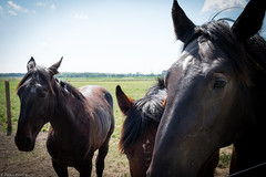 Horsies (life is good (pete)) Tags: horses champaign uofi universityofillinois summer fujifilm xt2