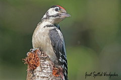 GREAT SPOTTED WOODPECTER (Juv.)  //  DENTROCOPUS MAJOR (24cm) (Tom Webzell) Tags: naturethroughthelens