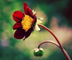 Beautiful Simplicity (barbara_donders) Tags: wildflower flowerhead flower inbloei bloemknop bloem wildebloem rood red green groen simpel eenvoud alleen nature natuur prachtig mooi beauty magical zomer summer