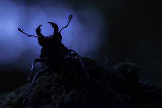 Vliegend hert - Stag Beetle - Lucanus cervus