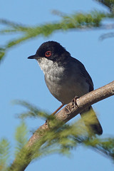 Sardinian Warbler Nerja Spain June 2017