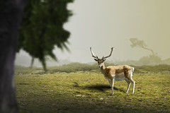 Gamo ibérico macho ... (Víctor.M.Chacón) Tags: xt2 víctormchacón gamos gamo animal 100400mm deer gamoibérico