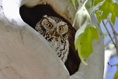 Whiskered Screech Owl (Andrej Chudy) Tags: bird birding birdwatching usa america trip canon wild wildlife animal nature outdoor arizona fullframe northamerica canon600mmf4isusm canon5ds 5ds portal owl