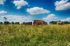 The curiosity of youth (TDotson) Tags: canon70d canon farmlife farm farmscene farmcountry country countrylife countryliving countryscene countryroads browncountyohio scenic scenicview rurallife ruralliving browncounty ohio appalachia cow cows calf cattle
