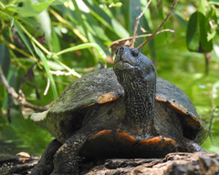 Western Pond Turtle_6765 (SharpshooterSF) Tags: wildlife nature animal outdoor critter