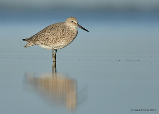 Willet (Explored#17)