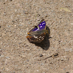 Apatura_iris_Purple_Emperor