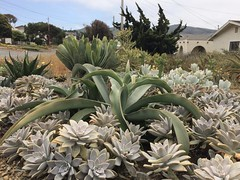 Agave gypsophila in a sea of Graptopetalum paraguayense.
