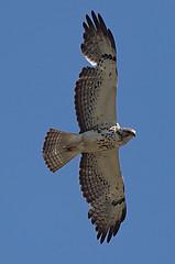 swha-im-northerncimarroncounty-5-26-17-tl-01-cropscreen (pomarinejaeger) Tags: keyes oklahoma unitedstates bird swainsonshawk buteoswainsoni