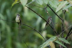 Piratic Flycatcher (J.B. Churchill) Tags: birds costarica flycatchers heredia pifl piraticflycatcher places selvaverdelodge taxonomy herediaprovince cr