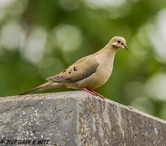 Mourning Dove (orencobirder) Tags: birds largebirds doves flickrexport