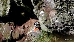 Just peeping (mootzie) Tags: puffin wee cute colourful beak webbed orange feet cliffs peeping aberdeenshire scotland wildlife bird nature