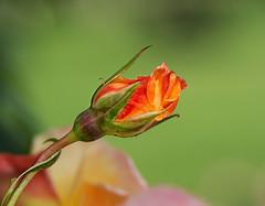 A Rose is a rose is a rose (Silke Klimesch) Tags: 7dwf friday flora gertrudestein aroseisaroseisarose rose rosa róża ruusu τριαντάφυλλο gül ро́за 玫瑰 macro closeup makrofotografie nahaufnahme berlin britzergarten olympus omd em5 mzuikodigitaled60mm128macro microfourthirds