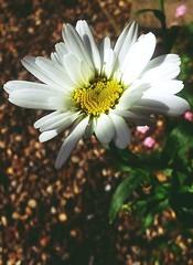 20160703_162145-02 (suzyhazelwood) Tags: flowers garden floral daisy samsung phone cell creativecommons photography summer