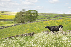 """""""Smell that lovely fresh air"""" (Keartona) Tags: cow sniffing air freshair field cowparsley wildflowers summer summery countryside landscape livestock litton derbyshire england peakdistrict whitepeak"""