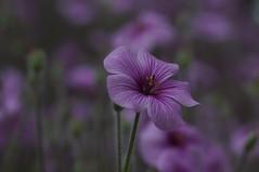 DSC09625 (oliveplum) Tags: purple flowerdome gardensbythebay marinabay nature sony singapore leica60f28macro bokeh bokehwhores