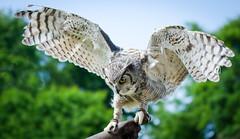 DSC_8379-Modifier.jpg (pcaille) Tags: hiboumoyenduc bretagne oiseau animaux branféré animal