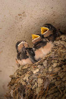 A choir of baby swallows