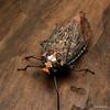 Lantern bug, Phrictus auromaculatus, Fulgoridae (Ecuador Megadiverso) Tags: andreaskay ecuador fulgoridhopper fulgoridae hemiptera lanternbug reservaecologicatamandua truebug phrictusauromaculatus