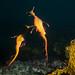 Weedy seadragon courtship - Phyllopteryx taeniolatus #marineexplorer