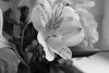 Peruvian Lily (CA Phoenix) Tags: lily peruvian alstroemeria lilyoftheincas black white garden camera nikon d5200 photo photography photograph explore flickr stems curves speckled tepals