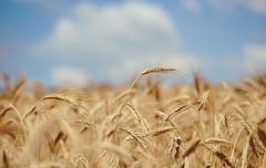 A warm summer day (Inka56) Tags: hbw wheat summer closeup 7dwf