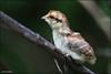 Hazel Grouse chick / Птенец рябчика / Tetrastes bonasia (Dmitry Kulakov) Tags: hazelgrouse chick рябчик tetrastesbonasia bonasabonasia