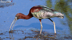 """""""We, the intellects, nerds and geeks, ponder about those birds and beaks, for it seems too true that beak and feather have no real reason to be together."""" (Shannon Rose O'Shea) Tags: shannonroseoshea shannonosheawildlifephotography shannonoshea shannon glossyibis ibis bird beak bill glossy colorful water bluewater skinnylegs nature wildlife waterfowl circlebbarreserve lakeland florida flickr wwwflickrcomphotosshannonroseoshea outdoors outdoor feathers wings canon canoneos80d canon80d eos80d 80d canon100400mm14556lisiiusm plegadisfalcinellus fauna"""