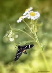 Amata phegea - Linnaeus, 1758 (fabrizio daminelli ) Tags: amataphegea linnaeus1758 fegea lepidoptera lepidottero erebidae falena moth farfalla insect insetto macro natura nature canon tamron fabriziodaminelli