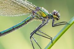 Calopteryx splendens (Prajzner) Tags: calopteryxsplendens bandeddemoiselle damselfly odonata focusstacking nature nikond7100 velbonmagslider sigma105mmmacro macro manfrottomt190xpro3