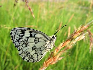 Butterfly 1308