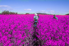 """""""Where Did This Pink Field Come From?"""""""