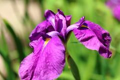 IMG_2628 (okiee8125) Tags: 浜離宮恩賜公園 庭園 park 花菖蒲 花 flower