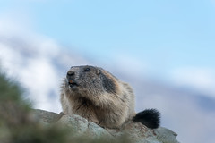 Marmot in the Alps (Andreas 1363) Tags: murmeltier marmot alpen alps nikon 300mm 300mmpf 300mm14epfedvr d750 tc14eiii14