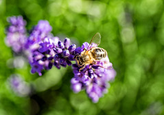 bee & bokeh (explored) (Simple_Sight) Tags: garden flower green outdoors nature closeup bokeh bee lavender