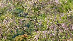 Carao, Pink Shower Tree, Coatepeque, El Salvador (ssspnnn) Tags: cassiagrandis fabaceae canafistula pinkshowertree arbol tree pink pinkshower panasonic lumixfz60 coatepquelake nunes snunes spnunes spereiranunes carao canandonga