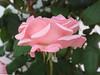 Rosa (vincenzolerro) Tags: 05062017sonyt77fiori languageofflowers