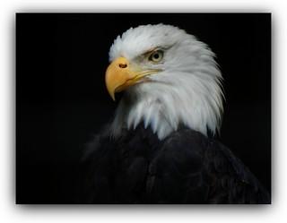 Portrait of the American Bald Eagle