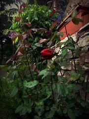 Rose flower, роза (Anna Gelashvili) Tags: цветокроза roseflower роза цветы flowers garden красныецветочки цветок сад rose flower цветочки ვარდი წითელივარდი ყვავილი ყვავილები