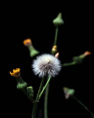 Sow Thistle (leapinlily) Tags: mg47192 sowthistle blackbackground weed flowerbud depthoffield